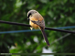 Long-tailed Shrike (Lanius schach) (gilgit2) Tags: pakistan birds geotagged wings wildlife feathers location species category avifauna gilgit laniusschach gilgitbaltistan imranshah longtailedshrikelaniusschach jutial