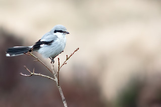 Great Grey Shrike Beeley Triangle13-02 15 Ian W