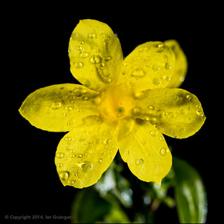 92/100 - Winter Jasmine