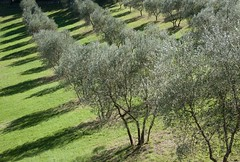Lumire de l'oliveraie. (Olive grove light) (Larch) Tags: light shadow italy green italia lumire country vert ombre september tuscany toscana toscane campagne septembre italie olivegrove olivier olivetree oliveraie