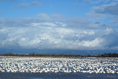 sea of snow (champbass2) Tags: california usa geese wildlife migration snowgeese pacificflyway cloudedsky champbass2 wintermigration