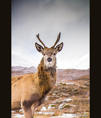 Young Red Deer Stag (Col-B) Tags: winter canon stag wildlife young reddeer scottishhighlands 175528 60d