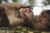 ¿Amor o dolor? (Lquintana Foto) Tags: nature fauna monkey ecuador nikon natural tena monos nkkor misahuallí tumblr nikontop lquintana lquintanafoto
