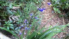 Dianella caerulea (grandolebillyboy) Tags: blue blueberry dianella australiannative hemerocallidaceae flaxlily understorey rainforestplant arfp dianellacaerulea blueflaxlily nswrfp arffs purplearffs bluearffs understoreyarfp