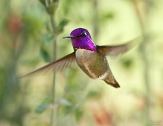 Costa's hummingbird, male
