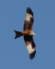 RED KITE (MILVUS MILVUS), HENLEY-ON-THAMES, OXFORDSHIRE. (Gary K. Mann) Tags: red wild england kite canon oxfordshire henleyonthames milvus