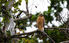 Red Shouldered Hawk (trinstanprep) Tags: california shadow red lake bird sports america canon butterfly photography bay high raw zoom bokeh hawk wildlife awesome birding parks insects cliffs sharp clear telephoto area shutter resolution manual adventures tamron lenses autofocus shouldered cmos 70d 150600mm