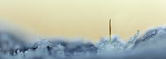 Alone I stand (Pog's pix) Tags: winter plant cold detail macro ice nature closeup garden scotland moss frost alone frosty single tiny icy ayrshire stewarton sporangiophore eastayrshire