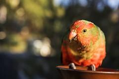 Juvenile King Parrot (red sti