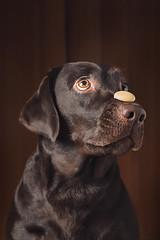 Brown (Tomas.Kral) Tags: lighting light portrait dog pet brown cute umbrella canon puppy studio eyes czech prague portraiture cz connie strobe onelight doglife strobist yongnuo 5dmarkii yn560ii