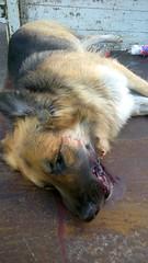 Road Kill (fat wreck) Tags: dog roadkill germanshepherd dogmeat deaddog splato founddeadonthesideoftheroad