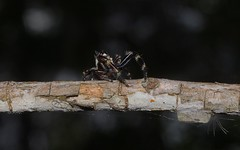 Two-tufted Sandalodes (dustaway) Tags: arachnida araneae salticidae sandalodesbipenicillatus twotuftedsandalodes jumpingspider australianspiders clagirabaforestreserve clagiraba nerangrivervalley sequeensland queensland australia araneomorphae spinne