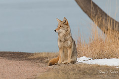 Female coyote sits and takes a break