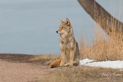 Female coyote sits and takes a break