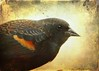 Shout for Spring (Passion4Nature) Tags: birds spring michigan birding textures upnorth ie blackbird redwingedblackbird epaulet moonseclipse magicunicornverybest