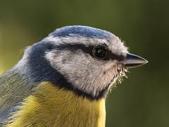 Chapim-azul (Jose Viana) Tags: bird portugal birding ave birdwatching bluetit paruscaeruleus canon100macro joseviana canon70d