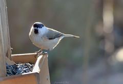 Hömötiainen (Markoliini) Tags: bird nature nikon wildlife natur luonto fågel lintu willowtit parusmontanus talltita hömötiainen d800e tamron150600