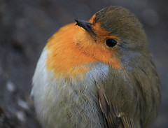 Pride & Joy  [Explore 6-3-2015] (eMMa_bOOm) Tags: park orange holland macro bird nature dutch robin closeup spring natural feathers explore colourful coloured leeuwarden rengerspark fryslân sooc orangebreast