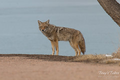 Male coyote keeps close watch