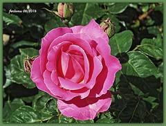 Toro (Zamora) 04 rosa rosa (ferlomu) Tags: flor rosa toro zamora ferlomu