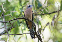 Fan-tailed Cuckoo (christinaportphotography) Tags: wild bird birds focus dof bokeh free australia nsw centralcoast cuckoo fantailedcuckoo cacomantisflabelliformis dharugnp
