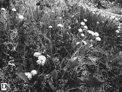 Dandelion (Danny 666) Tags: flower dandelion blowball