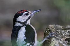 Great spotted woodpecker (GaseousClay1) Tags: bird nature wildlife habitat avian plumage greatspottedwoodpecker dendrocoposmajor worcestershirewildlifetrust