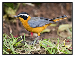 Heuglin's Robin-Chat - Cossypha heuglini (Crested Aperture Photography) Tags: cossyphaheuglini heuglinsrobinchat birds bird aves oiseaux uganda ggaba lakevictoria uccello pssaro