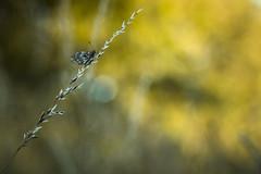 Un trait (Mathieu Calvet) Tags: pentax k3 fa100macro 100mm 100 pentaxart justpentax bokeh nature papillon mariposa butterfly blure blured wild proxy midipyrnes occitanie tarnetgaronne