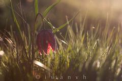 Fritillaria meleagris (iwanvh) Tags: flowers art nature fleurs flora artist photographer flore biodiversity iwan photographe naturalist naturaliste lozre environement iwanvh vanhoogmoed wwwiwanvhcom