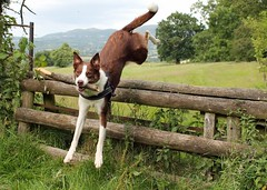 28/52 Over! (meg price) Tags: dog nature fence jump fields bordercollie flynn 52weeksfordogs