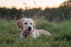 Michka (EC*2) Tags: michka chien nature animaux animauxdelaferme animal animals farmanimals