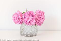 Simplicity is best (Zo Power) Tags: floraldisplay flowers hydrangea mygarden pastel pink pretty simplicity stilllife summer vase whitebackground