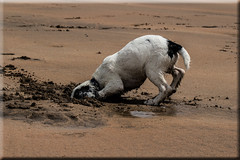 Don't bury your head in the sand (Boba Fett3) Tags: dog beach animal puppy outside outdoors seaside sand spaniel sandymouth