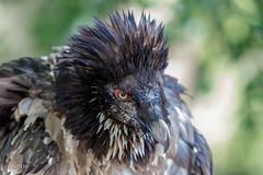 Bastik, gypate barbu de 3 ans (sfrancois73) Tags: oiseau faune gypatebarbu