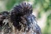 Bastik, gypaète barbu de 3 ans (sfrancois73) Tags: oiseau faune gypaètebarbu