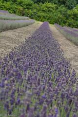 IMG_7775 (ElsSchepers) Tags: limburglavendel lavendelhoeve stokrooie kuringen hasselt natuur vlinders