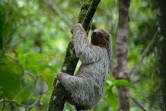 3-Toed Sloth (Daggormet) Tags: costarica centralamerica nikon nikond5200 nature animal wild wildlife fauna sloth fur cute cuddly 3toed threetoed villaverdetrip rainforest trees tree slow