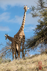 What's up down there? (DragonSpeed) Tags: africa tanzania mammal safari tz arusha giraffacamelopardalistippelskirchi masaigiraffe ngorongoroconservationarea maasaigiraffe tzday05 africanwildcatsexpeditions