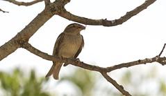IMG_4794 (Sula Riedlinger) Tags: bird nature birds sardinia wildlife birding sparrow birdwatching wwf spanishsparrow passerhispaniolensis sardagna montearcosu spanishsparrowpasserhispaniolensis birdsofsardinia sardiniajune2016 wwfdimontearcosusardinia