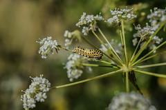 Papilio machaon (larva) (sotnik_on) Tags:       catepillar papilionoidea papilionidae papilio machaon entomofauna entomology ecology ukraine poltava macro larva larvae