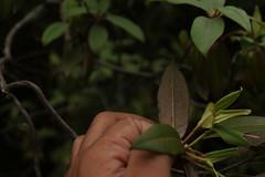 Rhododendron triflorum J. D. Hooker (4) (siddarth.machado) Tags: east rhododendron lachen northsikkim himalayanflora