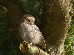 Little-Owl-Juv-3527 (Kulama) Tags: littleowl owl birds birdsofprey nature wildlife woods land summer canon7d sigma150600c563