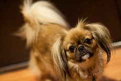 love (dr3zga) Tags: canon 85mm f18 f20 350d eos lowlight bokeh dog pet animal pekingese love cute closeup apsc