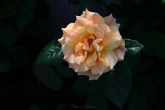 - AMBER ABUNDANCE (shig.) Tags: amberabundance rose roses flower flowers amber orange canon eos 70d green bokeh      plant outdoor depth field