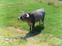 Buey (Virginia Vicente Orna) Tags: sendaviva buey