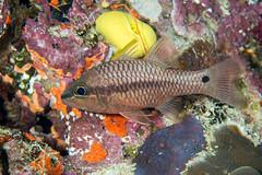 Iridescent cardinalfish (Pristiapogon kallopterus) (DavidR.808) Tags: pristiapogonkallopterus cardinalfish cardinal fish tropical fiji sea ocean pacific reef