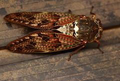 Large Brown Cicada (Nekogao) Tags: insect insects bug bugs summer cicada cicadas largebrowncicada cicadidae graptopsaltria graptopsaltrianigrofuscata