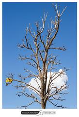 Ipe amarelo florido (angela.macario) Tags: ipe amarelo florido arvore cerrado goiana goiano goias goiania brasil brazil natureza ceu azul angela macario