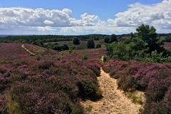 Posbank (zsnajorrah) Tags: nature trees path heath bloom purple sky clouds hills phoneography phonecamera cameraphone iphonese netherlands rhenen nationaalparkveluwezoom veluwezoom veluwe posbank